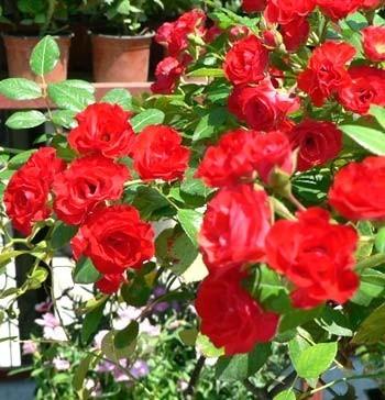 زراعة الورود والزهور فى مصر