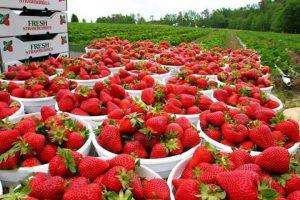 زراعة وإنتاجية الفراولة