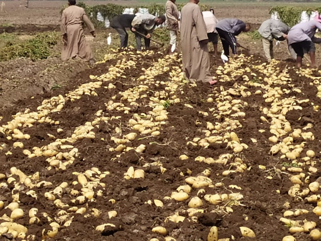 زراعة وتقليع البطاطس