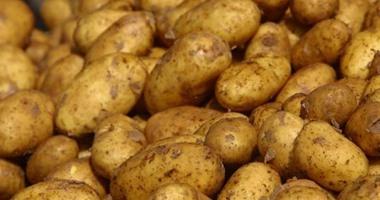 تقاوى البطاطس