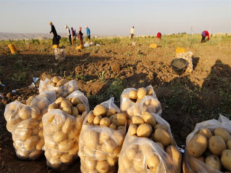 زراعة وجمع وفحص البطاطس لتصديرها