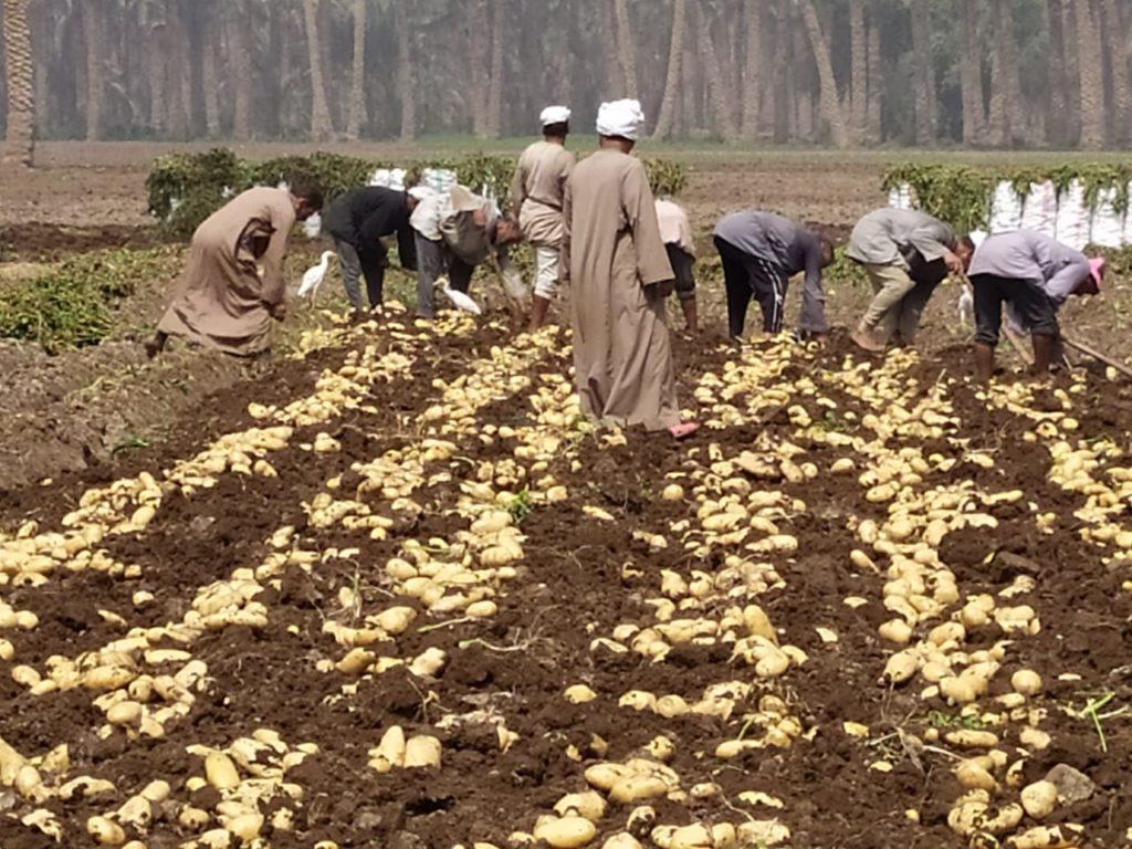زراعة وجمع البطاطس
