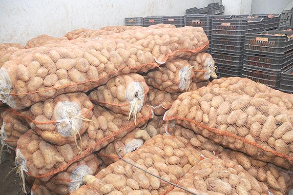 إعداد البطاطس للتصدير
