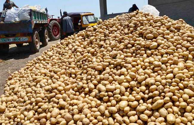 زراعة وإنتاجية البطاطس