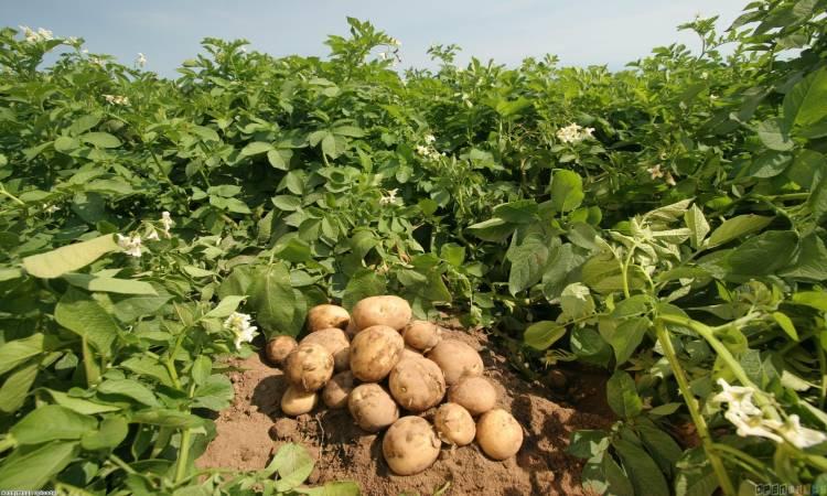 زراعة والعناية بالبطاطس