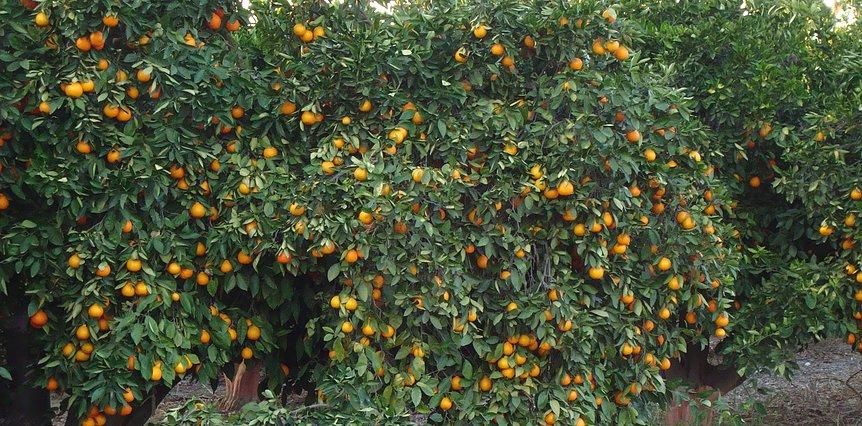 شجر برتقال01