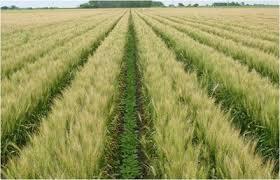 زراعة القمح على مصاطب