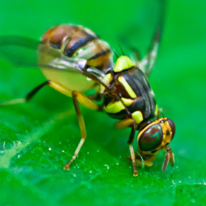3-exotic-fruit-fly