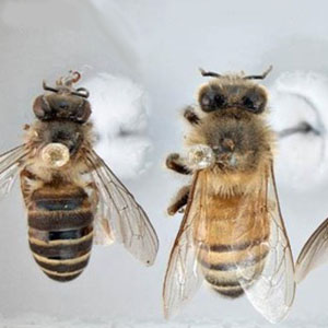 17-exotic-bees