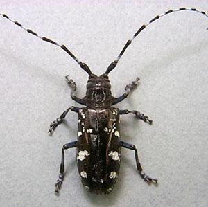 31-citrus-longhorn-beetle