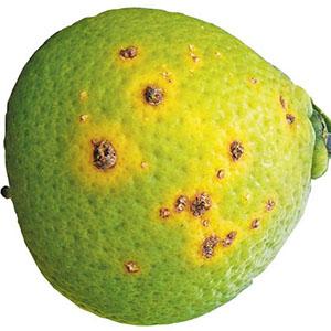 14-citrus-canker