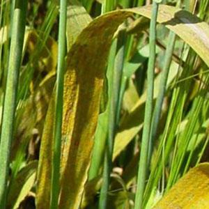 26-barley-stripe-rust