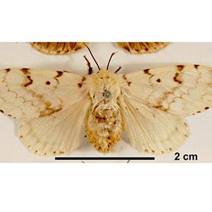 6-exotic-gypsy-moth
