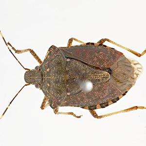 10-brown-marm-stink-bug