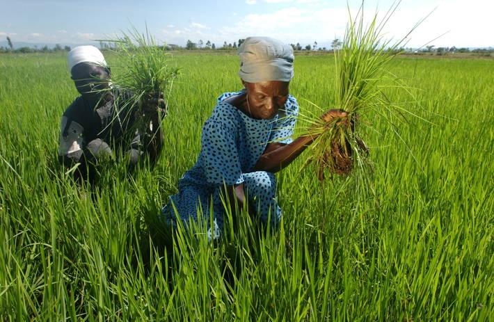 زراعة ال{ز فى كينيا