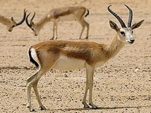 الغزال المصرى مهدد بالانقراض