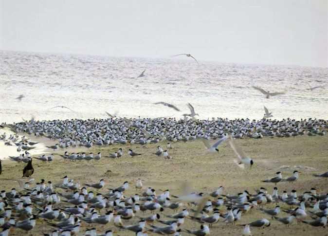 طيور مهاجرة فى البحر الأحمر