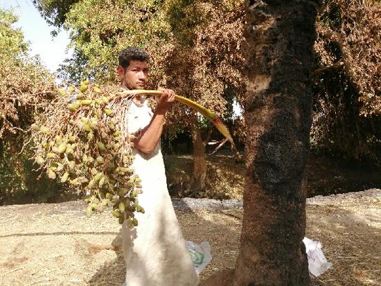 مزارع يحمل سباطة بلح سقطت بعد ان طالتها النيران