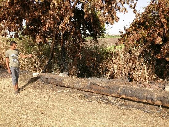 مصطفى يشير إلى الأشجار و جذوع النخيل المحترقة