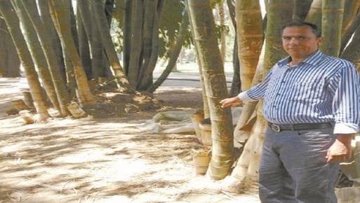 تكاثر نبات البامبو