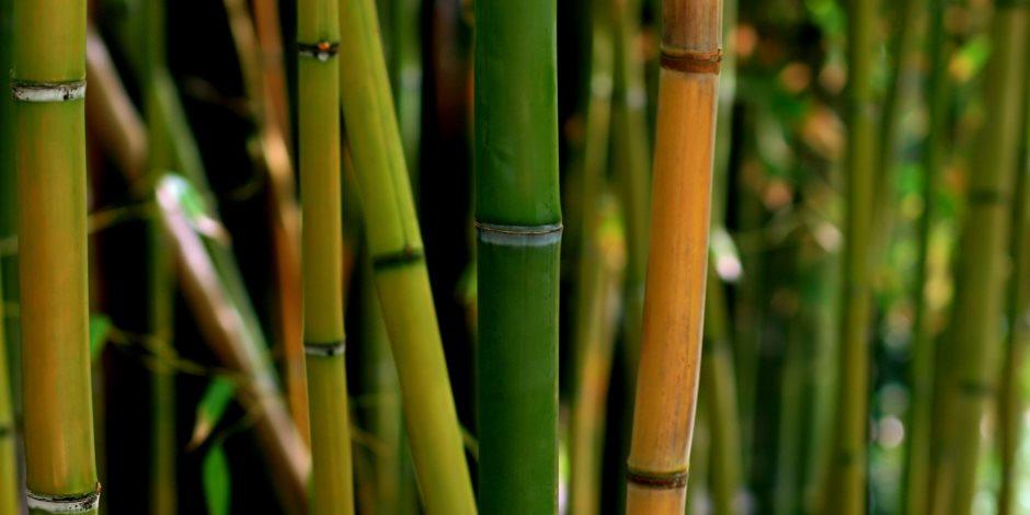 زراعة البامبو وتكاثره
