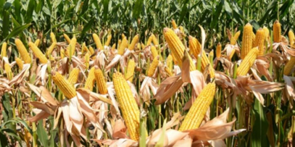 زراعة الذرة الصفراء