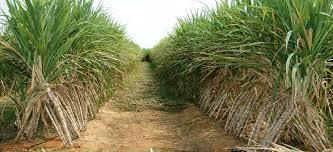 زراعة قصب السكر فى مصر