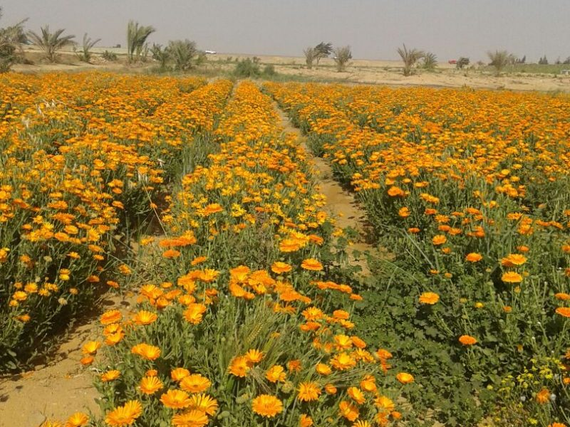 الاهتمام بزراعة النباتات الطبية والعطرية