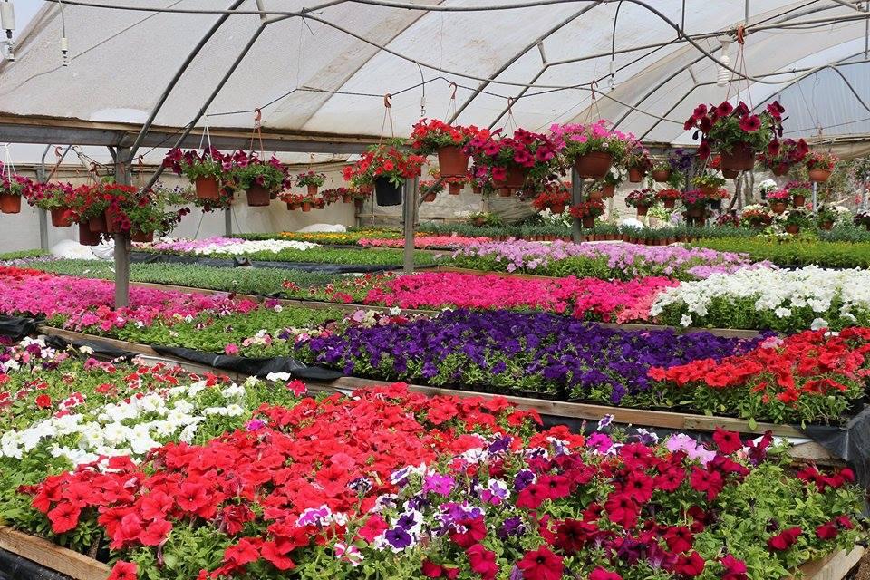 زراعة وإنتاجية النباتات الطبية والعطرية
