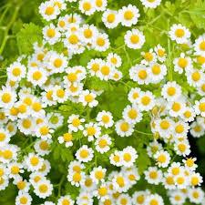 زراعة النباتات الطبية والعطرية فى الأراضى المستصلحة حديثاً