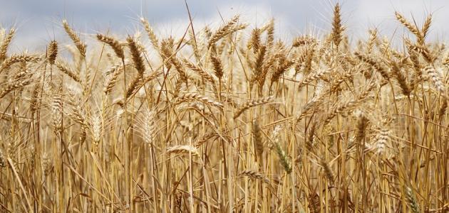 زراعة القمح فى مصر
