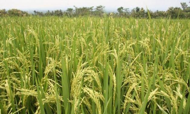 زراعة الأرز فى مصر