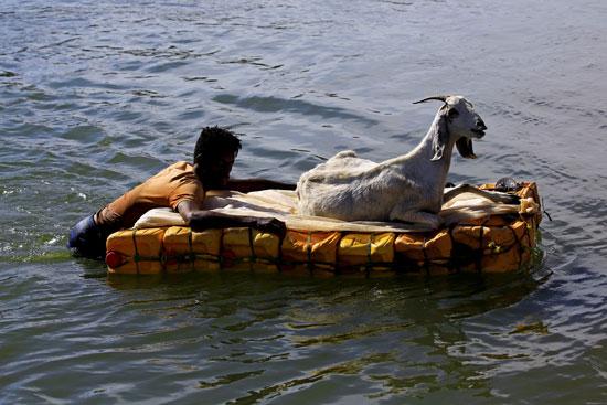 60159-رجل-يصطحب-ماعز-خلال-هروبها-عبر-البحر