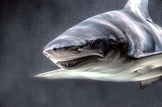 القرش المحيطى