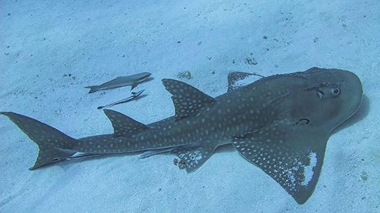 القرش الجيتار
