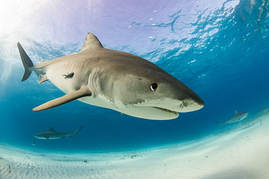 القرش النمر