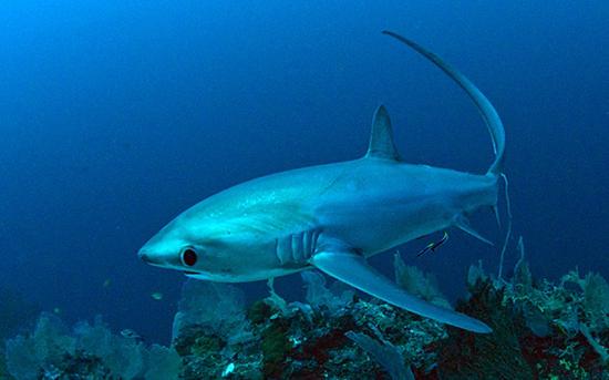 القرش الثعلب