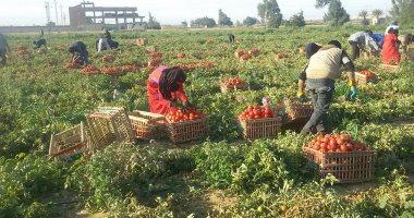 زراعات الطماطم فى مصر