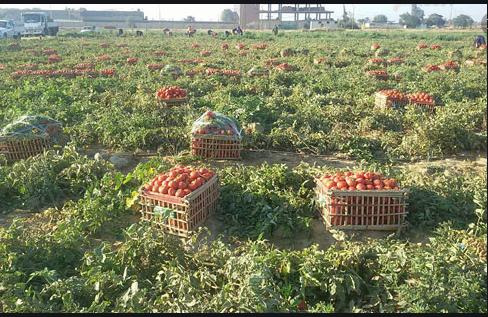 زراعة الطماطم فى المحافظات