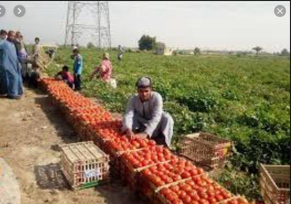 إنتاجية الطماطم فى ازدياد لتكفى السوق المحلية والتصدير