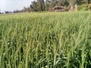 زراعات متضررة من هجمات الجراد