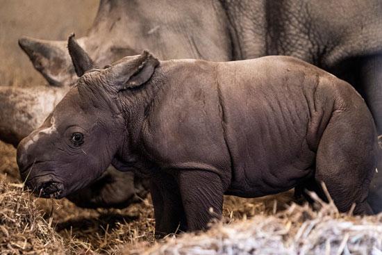 كورونا قد تقوض جهود إنقاذ وحيد القرن من الانقراض