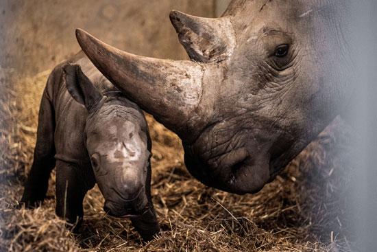 الحياة البرية فى جنوب إفريقيا مهددة بسبب كورونا