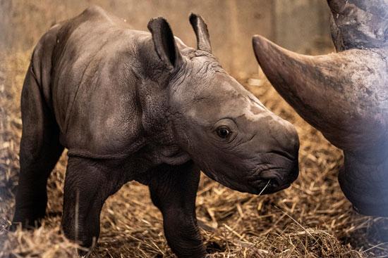 وحيد القرن بإحدى حدائق جنوب إفريقيا