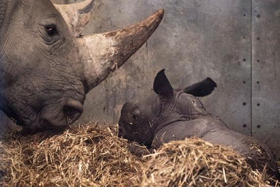 وحيد القرن أخد أبرز الحيوانات المهددة