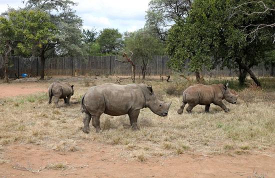 حيوان وحيد القرن فى أحد الحدائق بجنوب إفريقيا