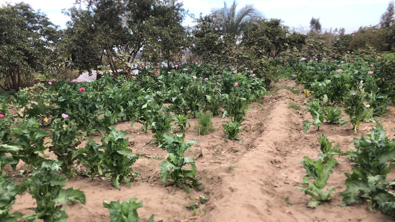 مزرعة الأفيون