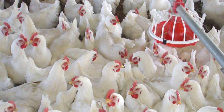 شعبة الدواجن تطالب الحكومة بتطوير مزارع الثروة الداجنة في مصر
