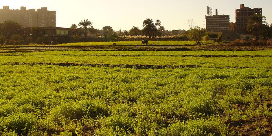 """""""حافظ على نباتاتك"""".. توصيات زراعة محصول ثوم السدس المعد للتصدير"""