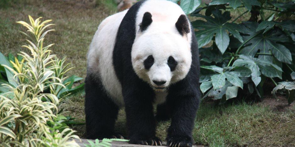 قصة باندا بيضاء نادرة مصابة بالمهق في الصين (فيديو)
